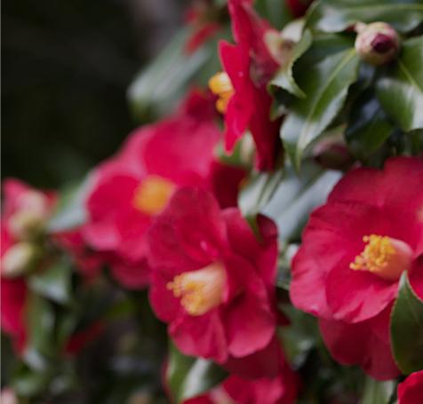 동백꽃사진